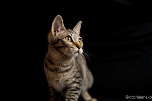 アトリエイエネコ Cat Photographer 44567980224_bd780873f8 1日1猫!おおさかねこ倶楽部 里活中の華ちゃんです♪ 1日1猫!  里親様募集中 猫写真 猫カフェ 猫 子猫 大阪 写真 保護猫カフェ 保護猫 ニャンとぴあ スマホ キジ猫 カメラ おおさかねこ倶楽部 Kitten Cute cat