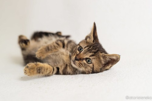 アトリエイエネコ Cat Photographer 45406863672_1c958bc18c 1日1猫!高槻ねこのおうち 里活中準備中キジ長毛ズ♫ 1日1猫!  高槻ねこのおうち 高槻 里親様募集中 里親募集 猫写真 猫カフェ 猫 子猫 大阪 初心者 写真 保護猫カフェ 保護猫 スマホ キジ猫 カメラ Kitten Cute cat