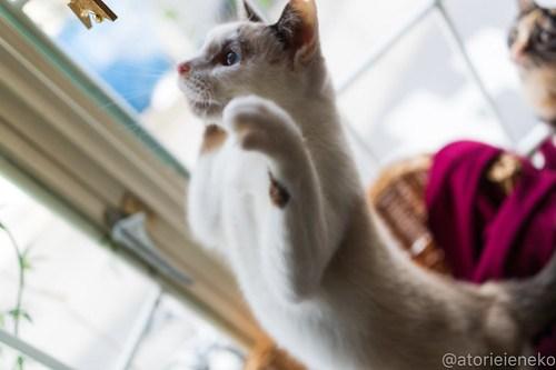 アトリエイエネコ Cat Photographer 46193391182_770523f2b8 1日1猫!高槻ねこのおうち  里活中のみゅうみゅうちゃん♫ 1日1猫!  高槻ねこのおうち 里親募集 猫 子猫 Kitten Cute cat