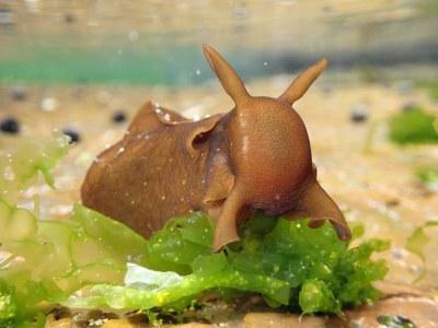 Sea hare eating lettuce - seems appropriate #marineexplorer
