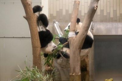 パンダのシャンシャンとシンシン