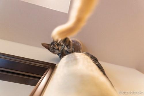 アトリエイエネコ Cat Photographer 45099973512_6fa0e390d0 1日1猫! CaraCatCafeさん殿様募集中の助さん!(3/3) 1日1猫!  里親様募集中 箕面 猫 子猫 大阪 初心者 写真 保護猫カフェ 保護猫 ハチワレ キジ猫 カメラ Cute cat caracatcafe