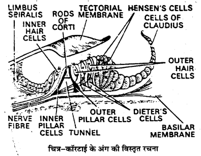 UP Board Solutions for Class 11 Biology Chapter 21 Neural Control and Coordination 12