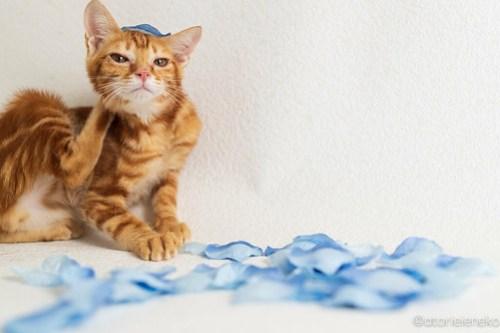 アトリエイエネコ Cat Photographer 45459317301_14fa96e570 1日1猫!高槻ねこのおうち 里活中準備中茶トラアメショー♫ 1日1猫!  高槻ねこのおうち 高槻 里親様募集中 里親募集 茶トラ 猫写真 猫カフェ 猫 子猫 大阪 初心者 写真 保護猫カフェ 保護猫 カメラ Cute cat