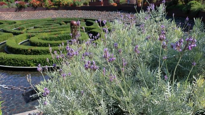 180927 154 Getty Center - Central Bowl Garden, Lavandula pinnata Fern-leaf Lavender, the Azalea maze is ringed with Kalanchoe pumila