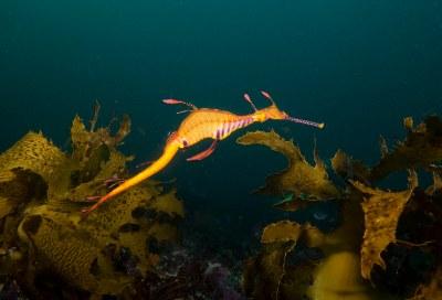 Weedy seadragon in kelp Phyllopteryx taeniolatus #marineexplorer