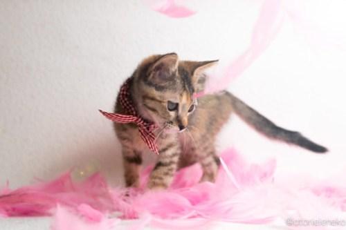 アトリエイエネコ Cat Photographer 44986086291_9112955e5a 1日1猫!おおさかねこ倶楽部 里活中のはるちゃんです♪ 1日1猫!  里親様募集中 里親募集 猫写真 猫カフェ 猫 子猫 大阪 写真 保護猫カフェ 保護猫 ニャンとぴあ スマホ キジ猫 おおさかねこ倶楽部 Kitten Foster parents Cute cat