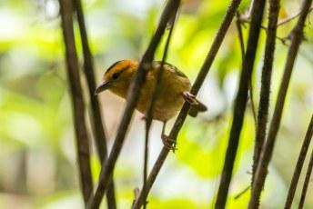 En ook deze Principe Weaver is endemisch voor het eiland.
