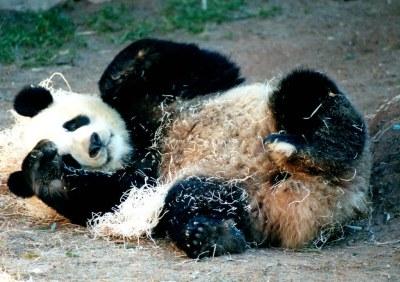 Panda playing with hay (Zoo Atlanta)