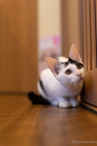 アトリエイエネコ Cat Photographer 44965830761_e92b82159c 1日1猫!保護猫カフェ森のねこ舎さん♪ 1日1猫!  里親様募集中 猫写真 猫カフェ 猫 森のねこ舎 子猫 大阪 初心者 写真 保護猫カフェ 保護猫 Kitten Cute cat