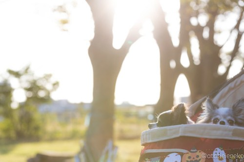 アトリエイエネコ Cat Photographer 45470035161_30d67edcf1 1日1ワン!安満人倶楽部(あまんどクラブ)10/21わんこと一緒にクリーンキャンペーンに行ってきた! 1日1猫!  高槻 犬 安満人倶楽部 子猫 大阪 写真 保護猫 保護犬 スマホ Kitten dog Cute cat