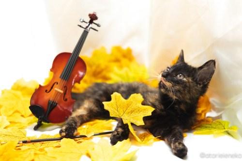 アトリエイエネコ Cat Photographer 29949173627_a729700313 1日1猫!高槻ねこのおうち 里活中のうたちゃん♪ 1日1猫!  高槻ねこのおうち 里親様募集中 猫写真 猫カフェ 猫 子猫 大阪 初心者 写真 保護猫カフェ 保護猫 スマホ サビ猫 カメラ Kitten Cute cat