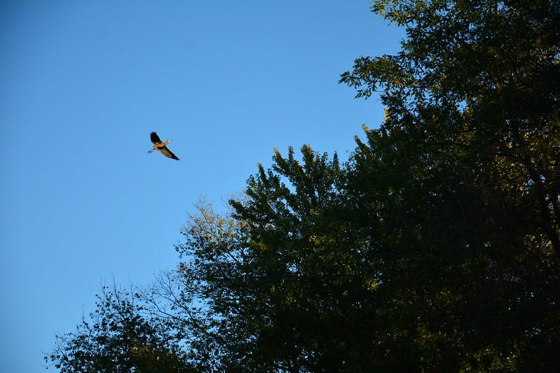 Great blue heron at LaSalle, Illinois