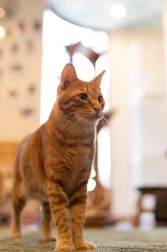 アトリエイエネコ Cat Photographer 44917391692_3172cc81e9 1日1猫!保護猫カフェ森のねこ舎さん♪ 1日1猫!  里親様募集中 猫写真 猫カフェ 猫 森のねこ舎 子猫 大阪 初心者 写真 保護猫カフェ 保護猫 Kitten Cute cat