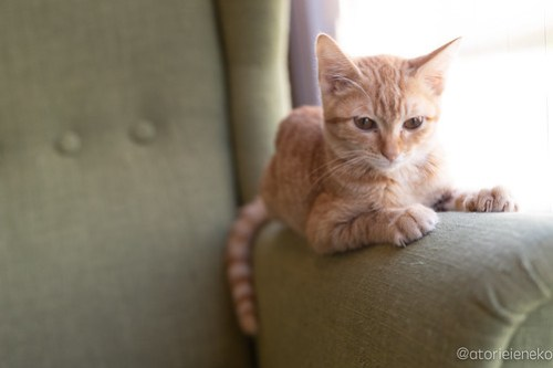 アトリエイエネコ Cat Photographer 44917396782_b2a9dc134d 1日1猫!保護猫カフェ森のねこ舎さん♪ 1日1猫!  里親様募集中 猫写真 猫カフェ 猫 森のねこ舎 子猫 大阪 初心者 写真 保護猫カフェ 保護猫 Kitten Cute cat