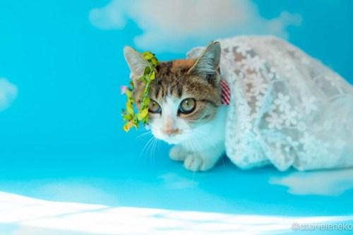 アトリエイエネコ Cat Photographer 45563826682_257c77a14c 1日1猫!高槻ねこのおうち 里活中三毛猫ちゃん♫ 1日1猫!  黒猫 高槻ねこのおうち 里親様募集中 里親募集 猫写真 猫カフェ 猫 子猫 大阪 写真 保護猫カフェ 保護猫 三毛猫 カメラ Kitten Cute cat