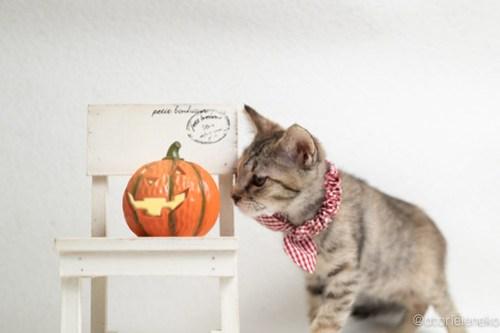 アトリエイエネコ Cat Photographer 43174189030_61cbf31dd8 1日1猫!おおさかねこ倶楽部 里活中のはるちゃんです♪ 1日1猫!  里親様募集中 里親募集 猫写真 猫カフェ 猫 子猫 大阪 写真 保護猫カフェ 保護猫 ニャンとぴあ スマホ キジ猫 おおさかねこ倶楽部 Kitten Foster parents Cute cat