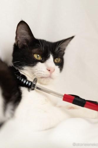 アトリエイエネコ Cat Photographer 45563850752_14b4751ee8 1日1猫!高槻ねこのおうち 里活中準備中ハチワレちゃん♫ 1日1猫!  高槻ねこのおうち 高槻 里親様募集中 里親募集 猫写真 猫カフェ 猫 子猫 大阪 初心者 写真 保護猫 ハチワレ Kitten Cute cat