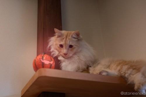 アトリエイエネコ Cat Photographer 45099990182_ccc6c5ceb7 1日1猫! CaraCatCafeさん天使達に会いに行って来た!(1/3) 1日1猫!  里親様募集中 猫写真 猫カフェ 猫 子猫 大阪 初心者 写真 保護猫カフェ 保護猫 スマホ カメラ Kitten Cute cat caracatcafe