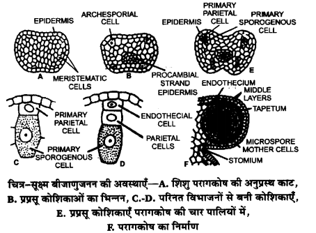 UP Board Solutions for Class 12 Biology Chapter 2 Sexual Reproduction in Flowering Plants 4Q.1
