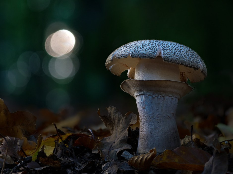 nightly shroom