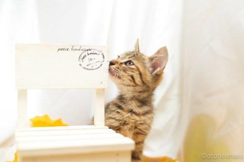 アトリエイエネコ Cat Photographer 43974003165_538dbd60bf 1日1猫!高槻ねこのおうち 里活中のいろはちゃん♪ 1日1猫!  高槻ねこのおうち 里親様募集中 猫写真 猫カフェ 猫 子猫 大阪 初心者 写真 保護猫カフェ 保護猫 スマホ キジ猫 Kitten Cute cat