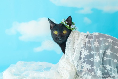 アトリエイエネコ Cat Photographer 31742235658_874bc7ed3b 1日1猫!高槻ねこのおうち 里活中準備中黒子猫♫ 1日1猫!  黒猫 高槻ねこのおうち 里親様募集中 里親募集 猫写真 猫カフェ 猫 子猫 大阪 初心者 写真 保護猫カフェ 保護猫 Kitten Cute cat