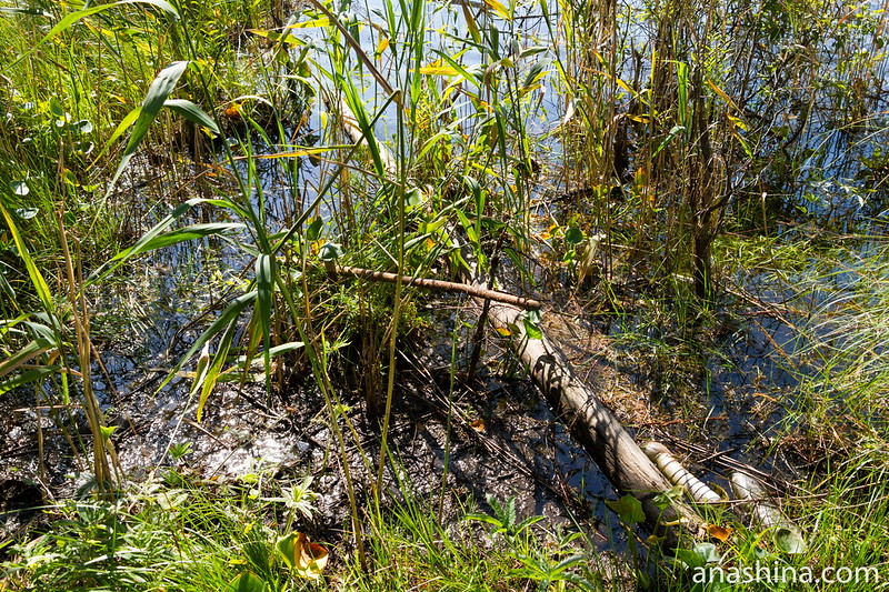 Растительность у берега, Озеро Саариярви