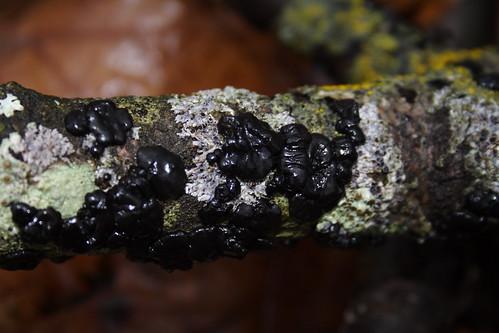 Exidia glandulosa 1