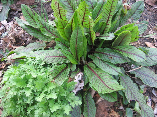 red veined sorrel and feverfew