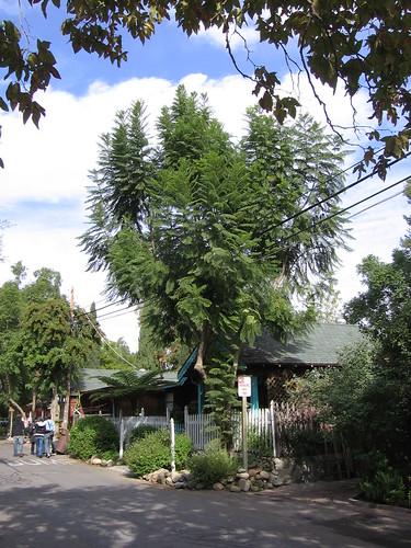 A tree grows in SJC