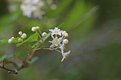 新治市民の森のコゴメウツギ(Flower, Niiharu Community Woods, Yokohama, Kanagawa, Japan, 2011)