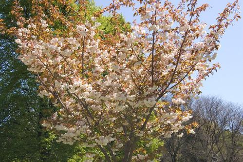 high_park_sakura_tree_38