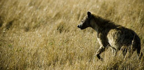 Laugh Like A Hyena
