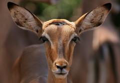 Impala portrait by AnyMotion