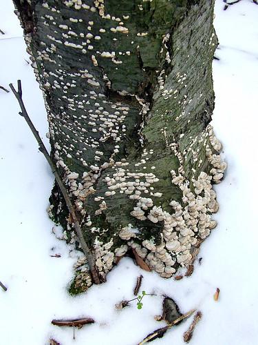 birch snag in snow