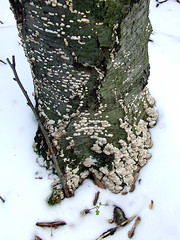 black birch snag