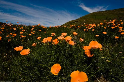 California poppy (Eschscholzia californica) Poppy Field Poppies