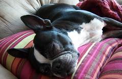 Oreo Napping on Pillows