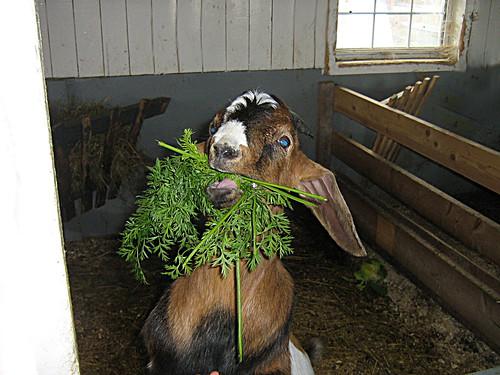 Duncan the Goat