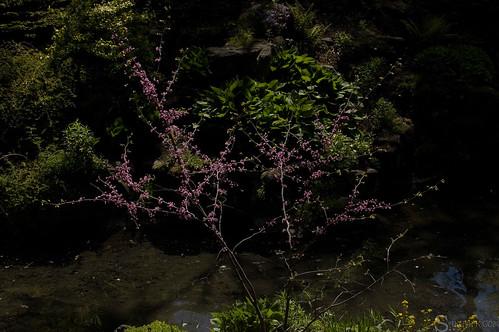 high_park_sakura_tree_8