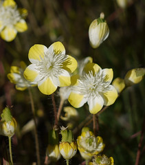 cream cups - platystemon californicus