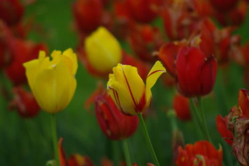 red-yellow tulips from Istanbul Tulip Festival, Pentax K10D