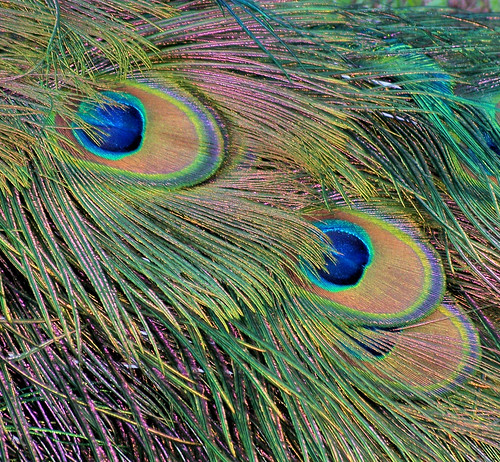peacock feathers.jpg
