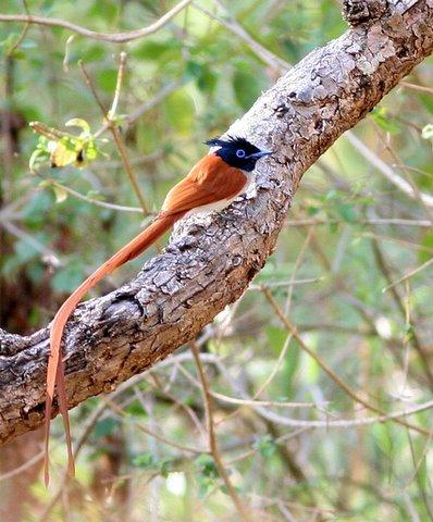 rufous male asian paradise flycatcher k gudi 180308