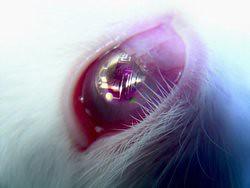 Lens op het oog van een konijn