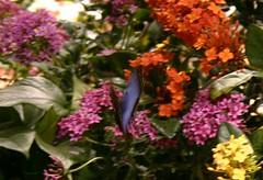 04.05.08 Smithsonian -- Butterfly Pavilion (28) -- Morpho