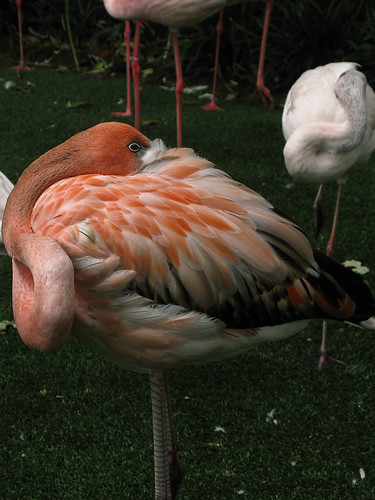 6235 Lesser Flamingo, Fort Worth Zoo, Tx