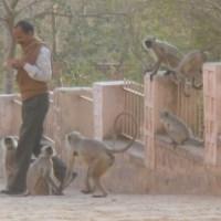 印度隨處可見的野猴子