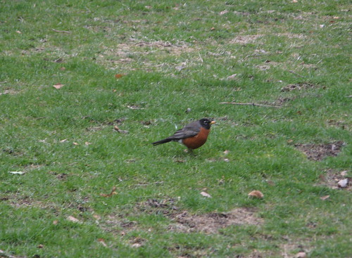 The second robin of spring